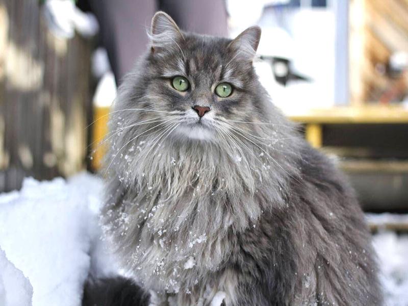 gatto siberiano carattere