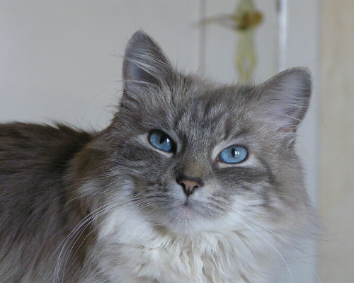 gatto siberiano grigio