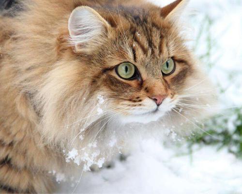 gatto siberiano rosso