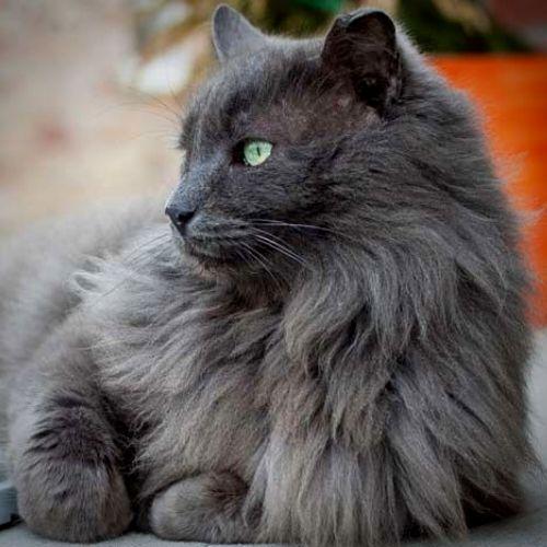 gatto blu di russia