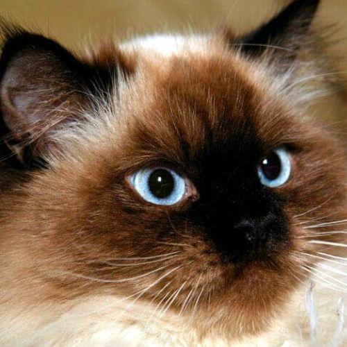 gatto hymalaiano