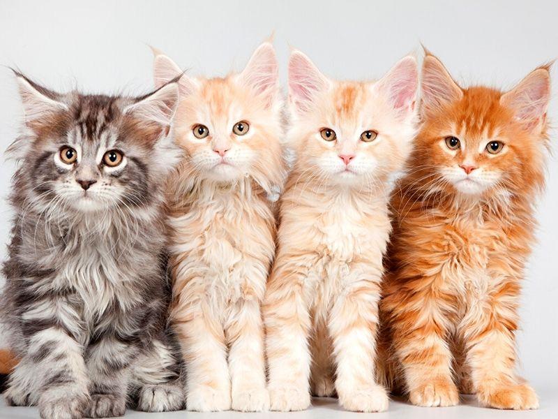 razze di gatti a pelo lungo