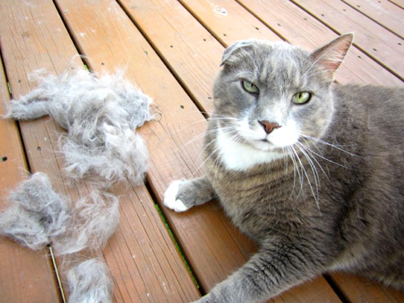 se il gatto perde il pelo
