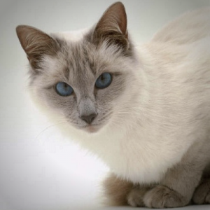 gatto thai balinese