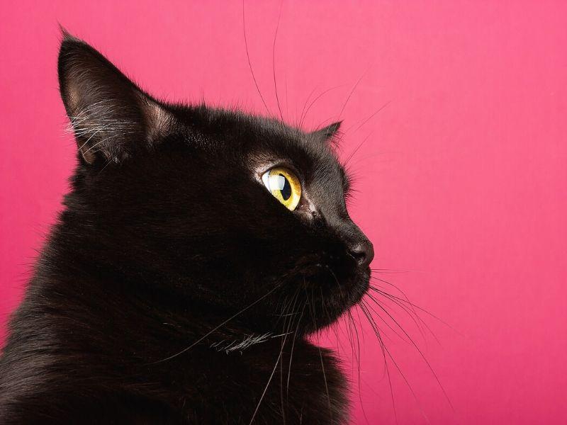 bombay americano gatto domestico